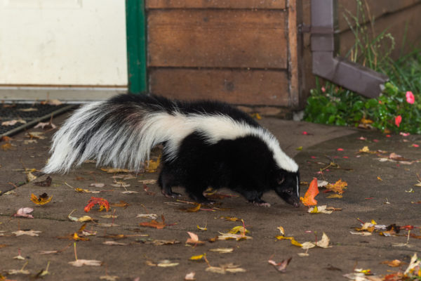 How Do You Know When It Is Time For Professional Skunk Removal